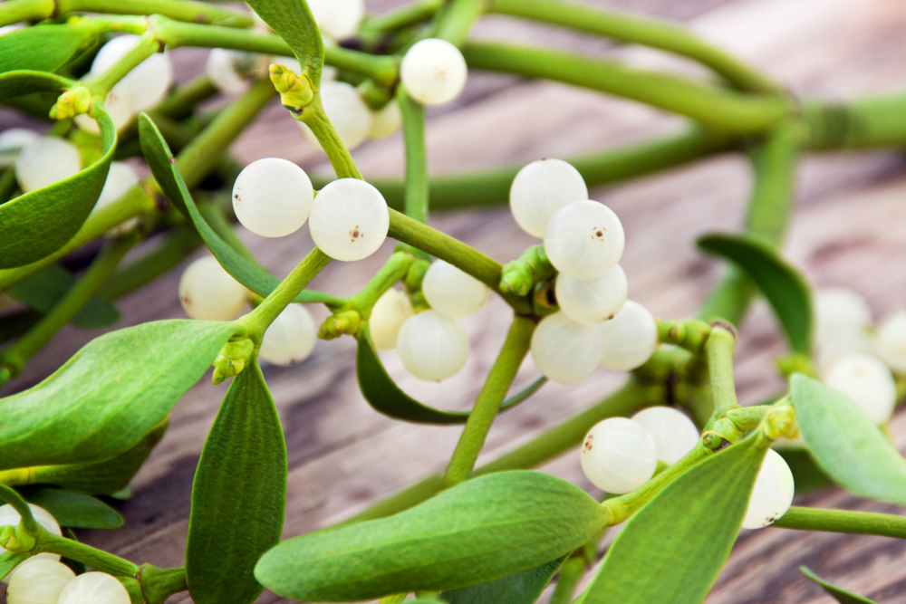 Mistletoe Therapy Cancer Treatment